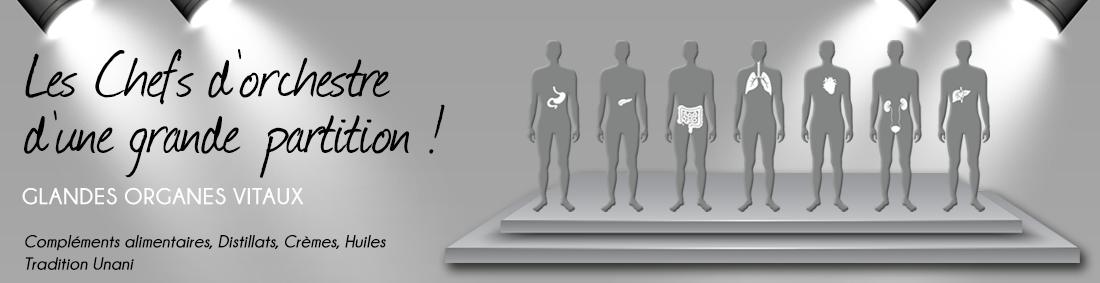 Glandes - Organes vitaux